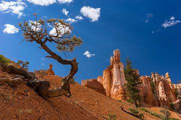 Boom in Bryce Canyon von Diana de Boer