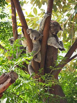 Koala beren in boom van Sanne Bakker