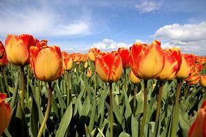 Geel met rode tulpen van Frouwkje Fotografie