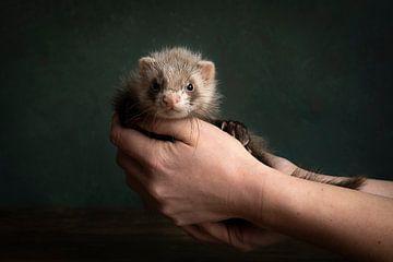 Junger Frettchen-Welpe in einem Stillleben, das von den Händen seines Besitzers gehalten wird von Leoniek van der Vliet