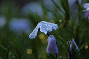Schöne Blume mit Tropfen auf sie von Maarten de Jong
