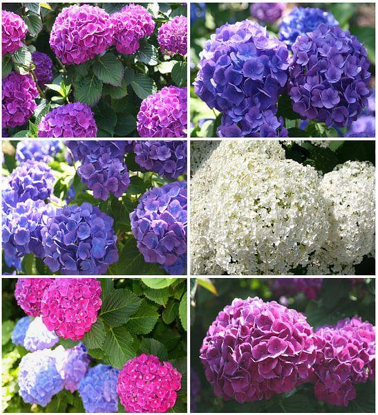 Hortensia summer feelings, flower power van Inge Hogenbijl