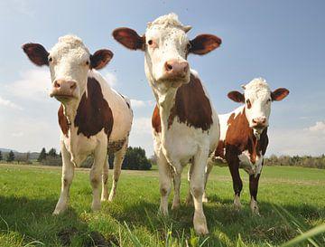 Curious Cows von Hans Kool