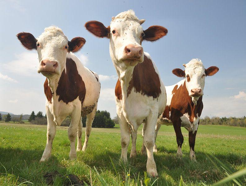 Curious Cows van Hans Kool