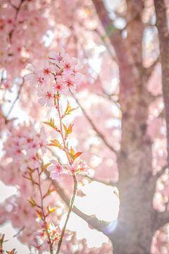 Blühende Kirschblüte von KevinFotografie