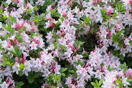 Japanse Lelies close-up
