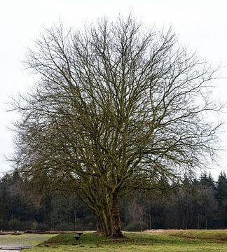Mooie grote boom op Kamp Westerbork van Anuska Klaverdijk