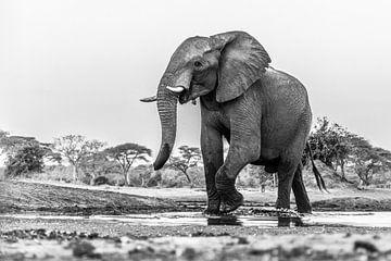 Portret Afrikaanse olifant (Loxodonta) bij een drinkwaterpoel van Remco Donners