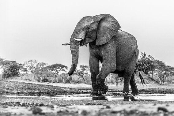 Portret Afrikaanse olifant (Loxodonta) bij een drinkwaterpoel