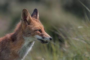 Rode vos van Leon Brouwer