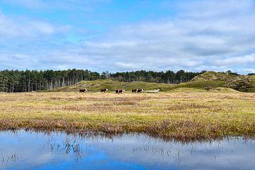 Hereford koeien in natuurgebied