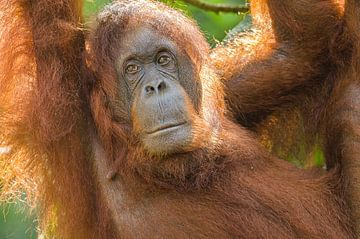 Orang-oetan portret van