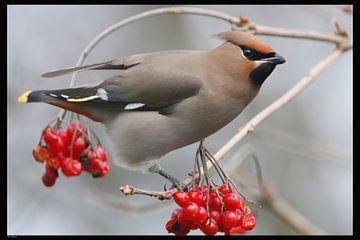 Pestvogel van Wim Wilmers