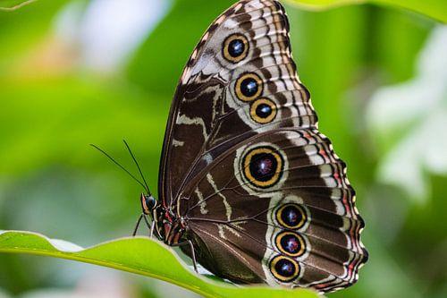 Butterfly big van Sylvia Schuur