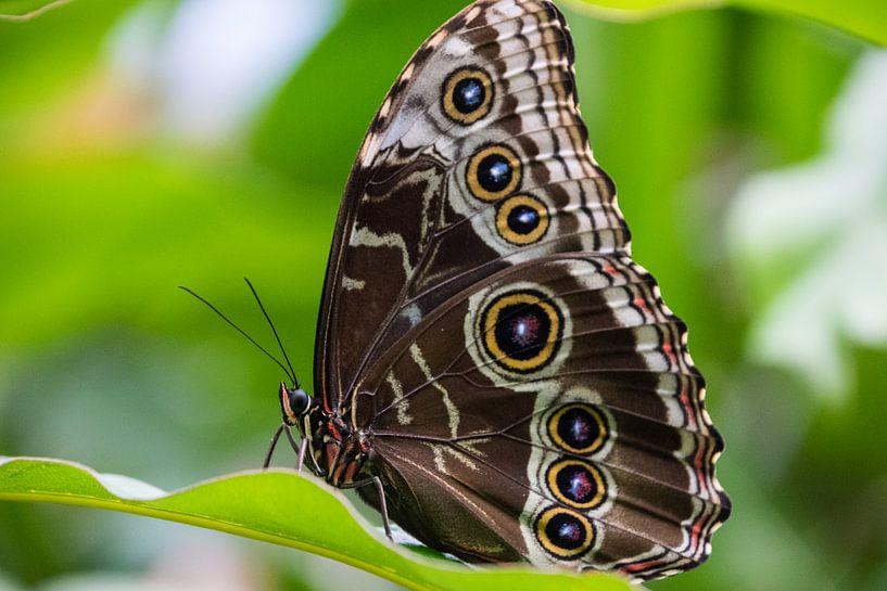 Butterfly big sur Sylvia Schuur
