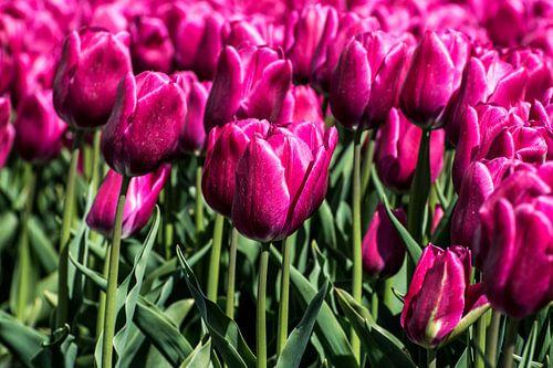 Tulips von Hans Tijssen