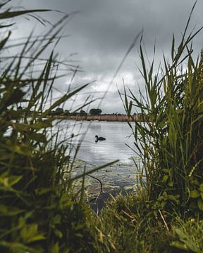 Meerkoet in de Hoornsevaart - Alkmaar van Pim Haring