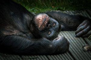 Schimpanse in Ruhe von Irma Heisterkamp