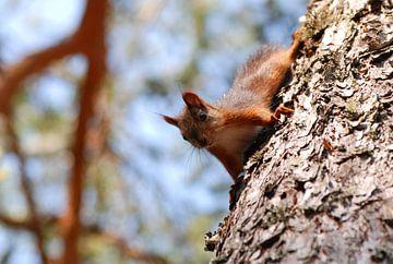 Eekhoorn in boom sur Margreet Frowijn