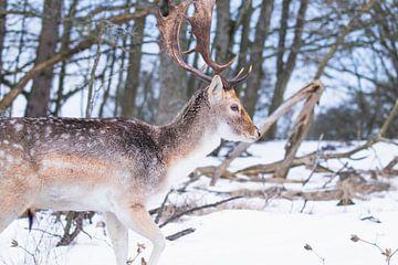 Damhirsch mit Geweih im Schnee von Anne Zwagers