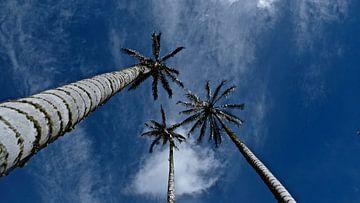 Palmbomen in Valle de Corora Salento, Colombia. van Geerke Burgers