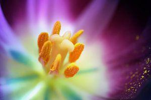 Macro - Hart van een tulp