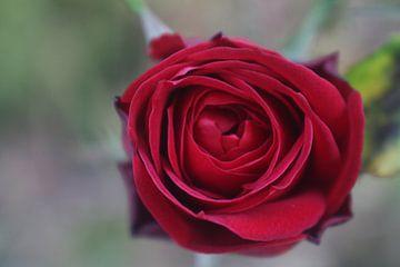 Rode roos van An Ritchie