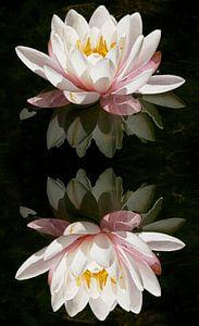 Waterlelie reflexie