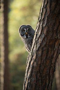 Great Grey Owl *Strix nebulosa*