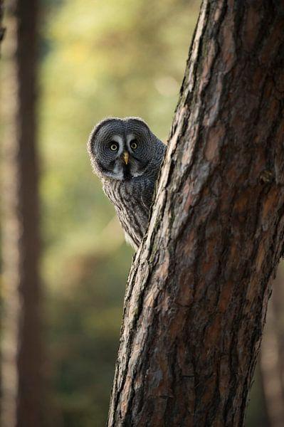 Great Grey Owl *Strix nebulosa* van wunderbare Erde