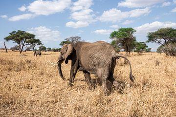 Elefant auf Wanderung in Tarangire von Mickéle Godderis