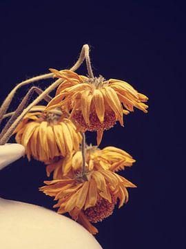 Withered yellow daisy flower on a dark studio background von Andreas Berheide Photography