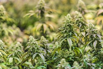 Cannabis Pflanzen von Felix Brönnimann