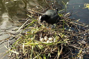 Blässhuhn auf dem Nest mit Eiern. von Carin IJpelaar