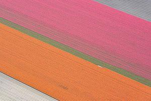 Tulpenvelden in de polder in het voorjaar