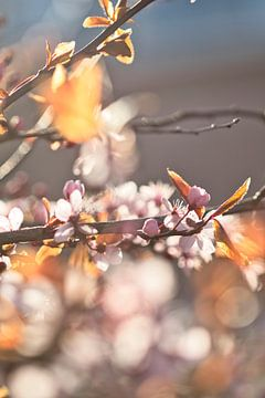 blüht in der Morgensonne von Lindy Schenk-Smit