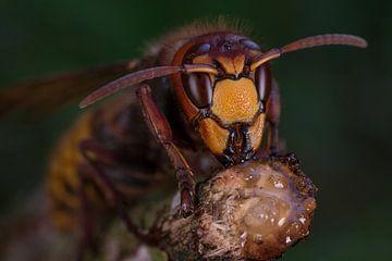 Europese hoornaar (vespa crabro). von Jeroen  Ruël