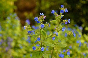 Blauwe bloemen von Hans Brinker