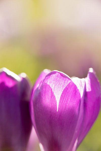 bloemenkunst |   macrofoto van krokus, oranje meeldraden in een bloem | fine art foto print