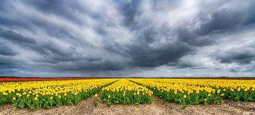 Gelbe Tulpen 2020 C von Alex Hiemstra