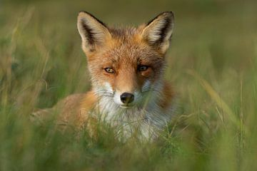 Sweet fox van Yvonne van der Meij