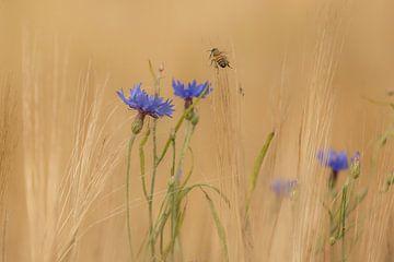 Korenbloemen met honingbij van Gert Gelmers