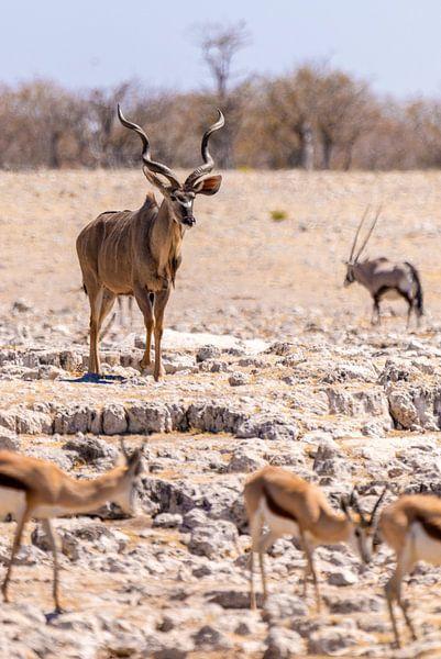 Kudu van Felix Brönnimann