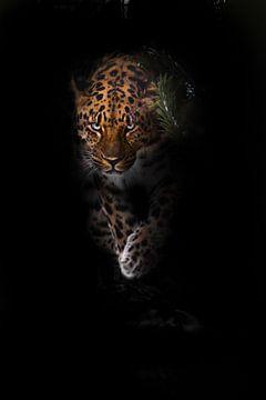 aspect de la bête. léopard isolé sur un fond noir. Beau gros chat sauvage dans l'obscurité de la nui sur Michael Semenov