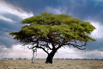 Baum im Etosha Nationalpark, Namibia