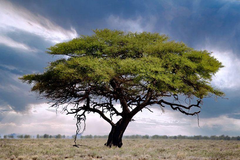 Baum im Etosha Nationalpark, Namibia von W. Woyke