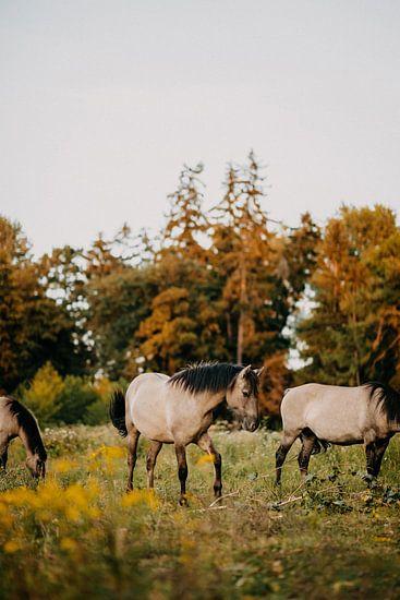 Konik paard in natuurgebied tijdens zonsondergang
