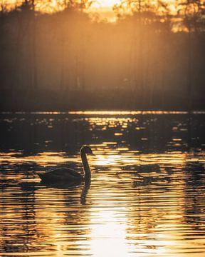 Un cygne au coucher du soleil sur Steffen Peters