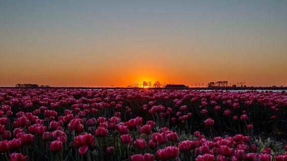 Zonsondergang over tulpenveld.