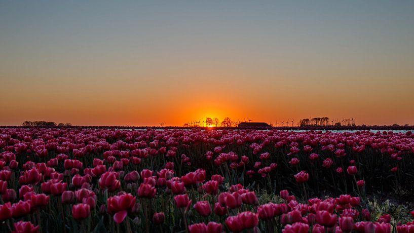Zonsondergang over tulpenveld. van Anjo ten Kate
